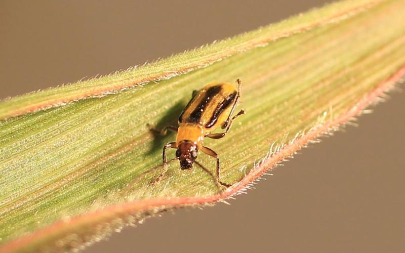 la chrysomèle du maïs